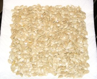 Roasted Pumpkin Seeds #3 (Drying)