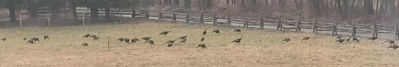 Turkeys in the Pasture