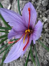 170px-Crocus_sativus_01_by_Line1