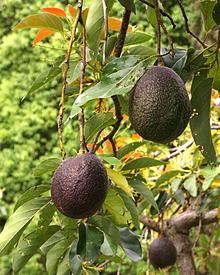 220px-Persea_americana_fruit_2