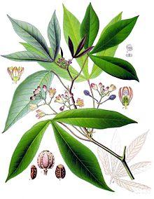 220px-Manihot_esculenta_-_Köhler–s_Medizinal-Pflanzen-090