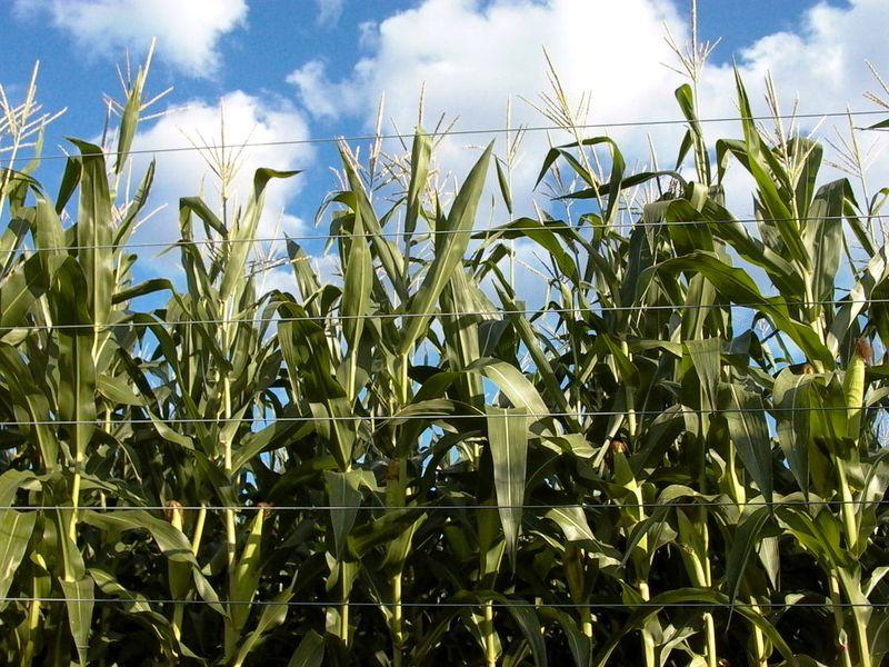 Corn Chronicles #1