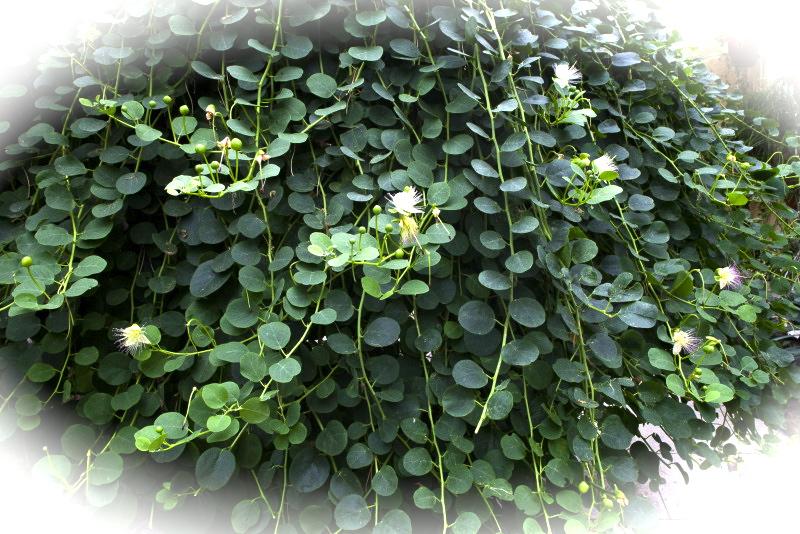 Caper-bush_medium