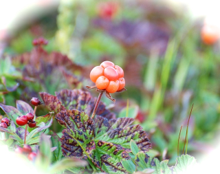 1024px-Cloudberries